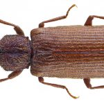 Powder Post Beetle - Lyctoxylon dentatum
